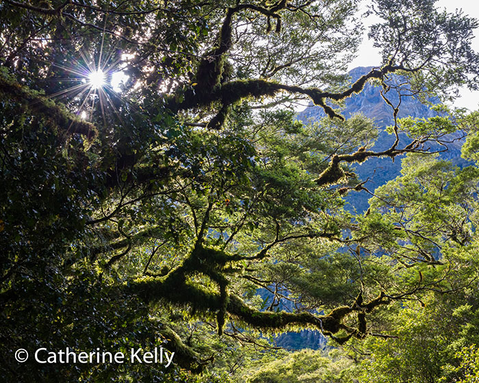 Hiking the Milford Track near Milford Sound, New Zealand. Sunstar in the trees.