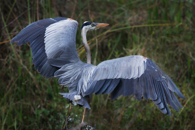 #blueheron, #heron, #flight,  #sharkvalley, #florida, #everglades,#birds