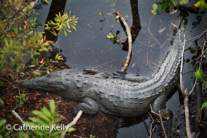 #crocodile, #croc, #Everglades, #nationalpark, #wildflife