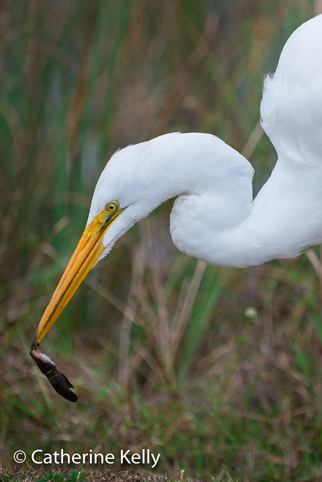 #NikonD800, #greategret, #egret, #bird, #eating, #feeding, #everglades, #sharkvalley, #wildlife, #nature