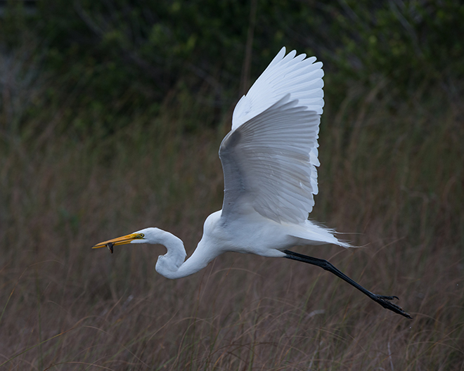 #egret, #snowyegret, #greategret, #wildlife, #nature, #florida, #birds, #flight