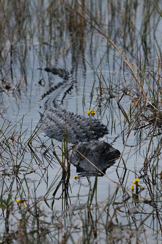 #alligator, #everglades, #water, #nature, #wildlife, #florida, #sharkvalley