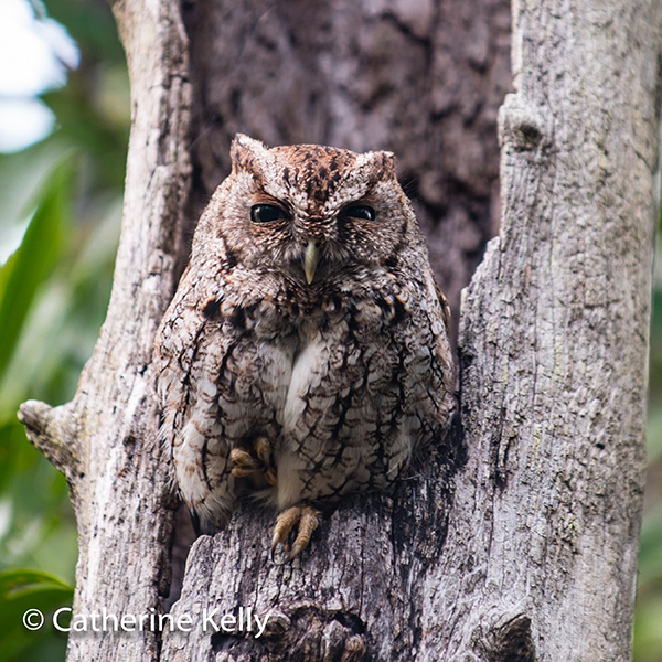 #screechowl, #Florida, #owl, #bird, #raptor, #NikonD800, #Nikon70-200lens, #ReallyRightStufftripod