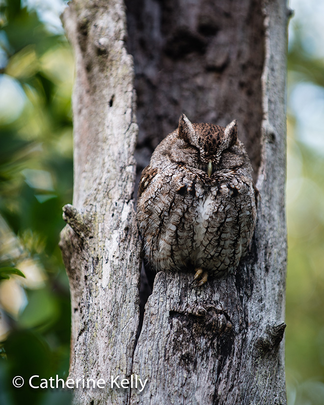 #screechowl, #owl, #florida, #wildlife