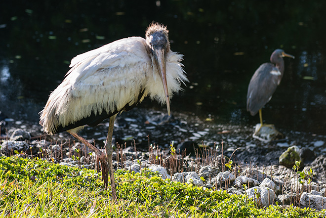 #woodstork, #threatened, #stork, #bird, #wildlife