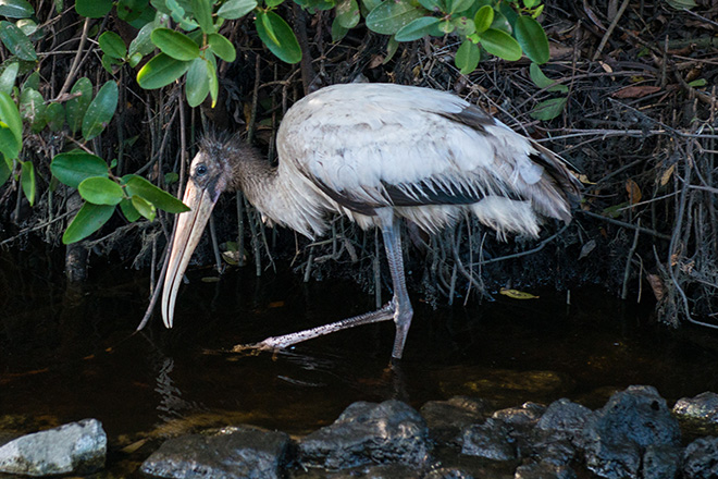 #woodstork, #stork, #bird, #wildlife, #Florida, #swamp