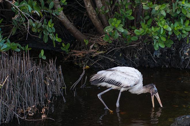 #woodstork, #stork, #bird, #florida, #swamp, #wildlife, #nature