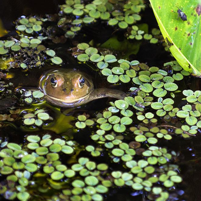 #frog, #nature, #wildlife, #swamp, #corkscrew, #corkscrewswampsanctuary, #green, #stpatricksday
