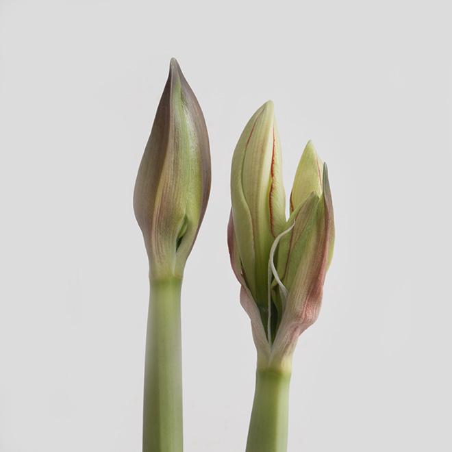 #spring, #amaryllis, #blooming
