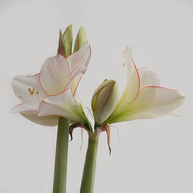 #amaryllis, #bloom, #spring, #white
