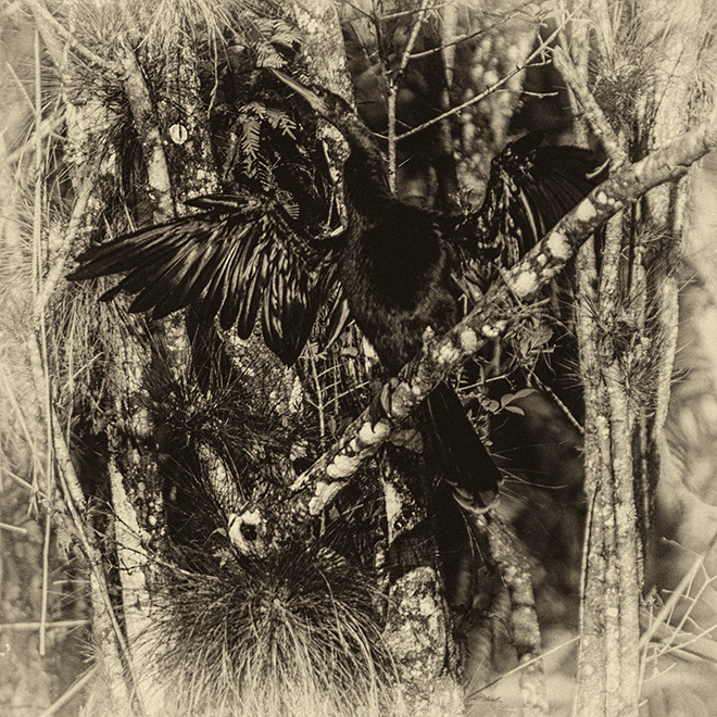 #anhinga, #sepia, #blackandwhite, #wildlife, #lichen, #florida, #nature