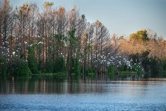 #egret, #birds, #roost, #dusk, #safety, #sleep, #florida, #fortmyers