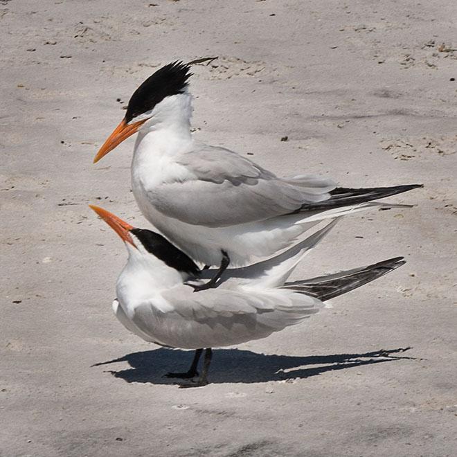 #florida, #birds, #mating, #spring,, #beach, #donotdisturb