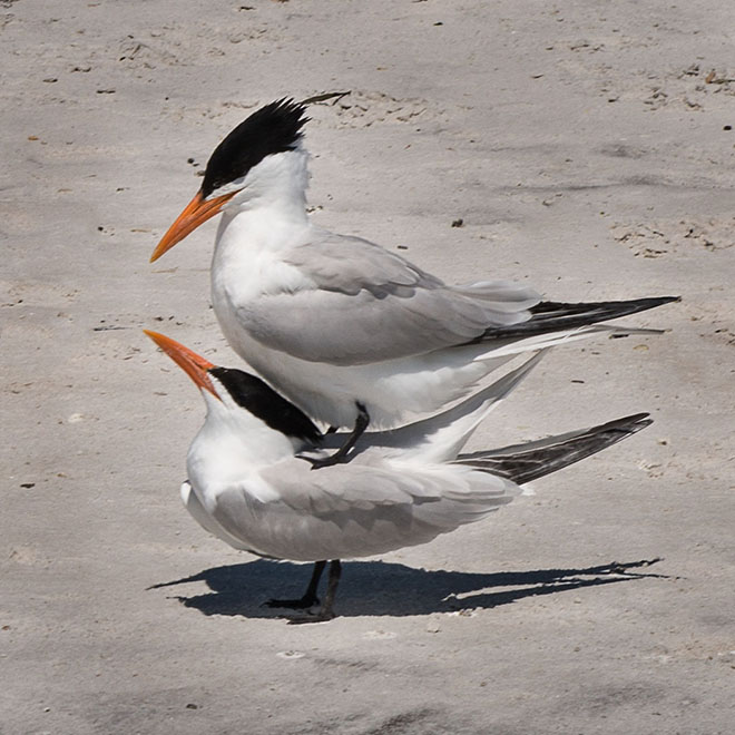 #florida, #birds, #mating, #spring,, #beach, #donotdisturb