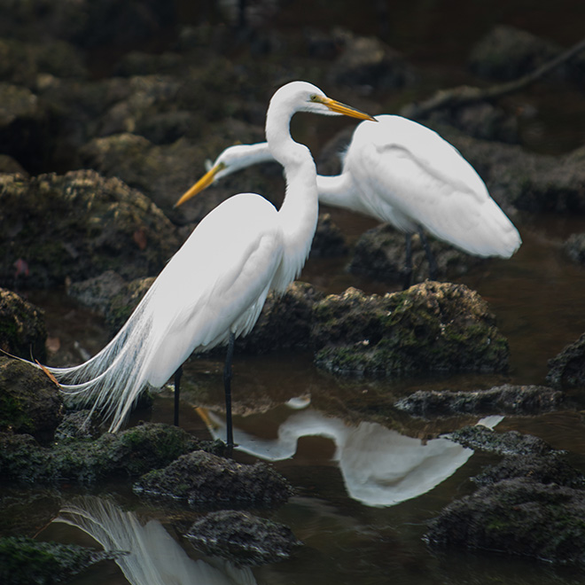 #egrets, #birds, #sanibel, #dingdarling