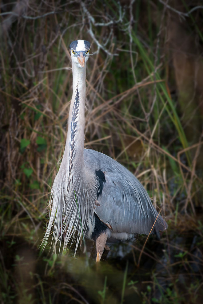 #heron, #greatblueheron, #bird, #breeding, #plummage, #Florida, #Everglades, #Nationalpark, #wildlife, #nature