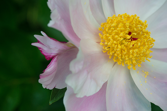 #peony, #spring, #flower, #macro, #nikond800, #pink, #backyard, #irregularities