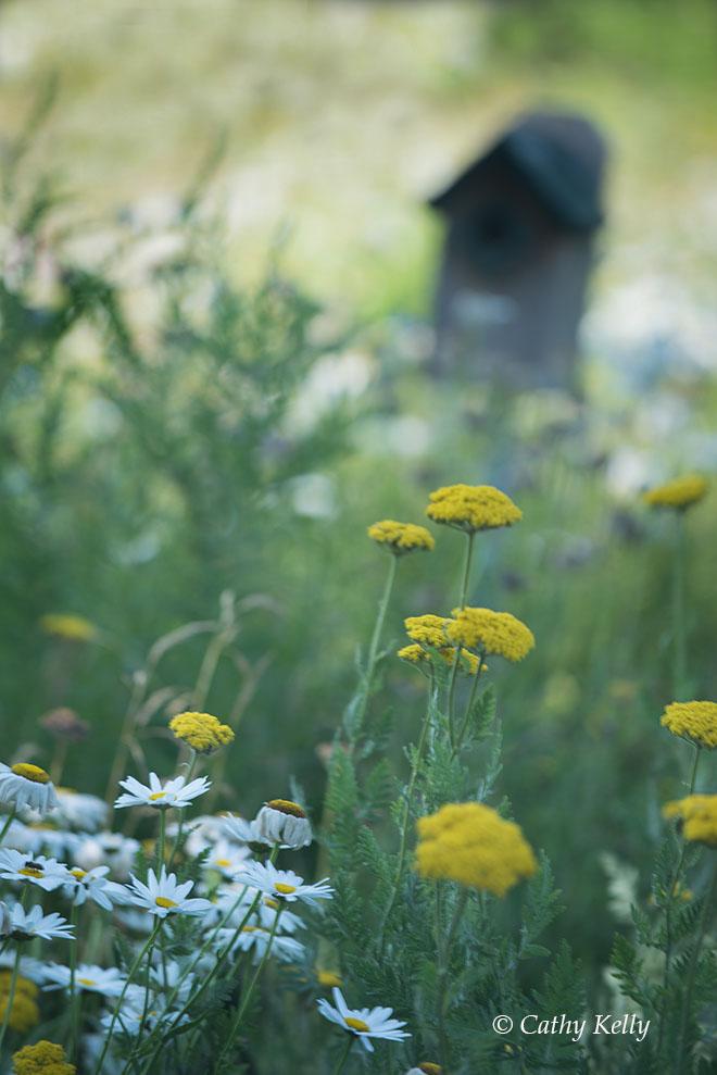 #meadow, #birdfeeder, #bees, #July, #Pennsylvania, #flowers, #wildflowers, #daisies