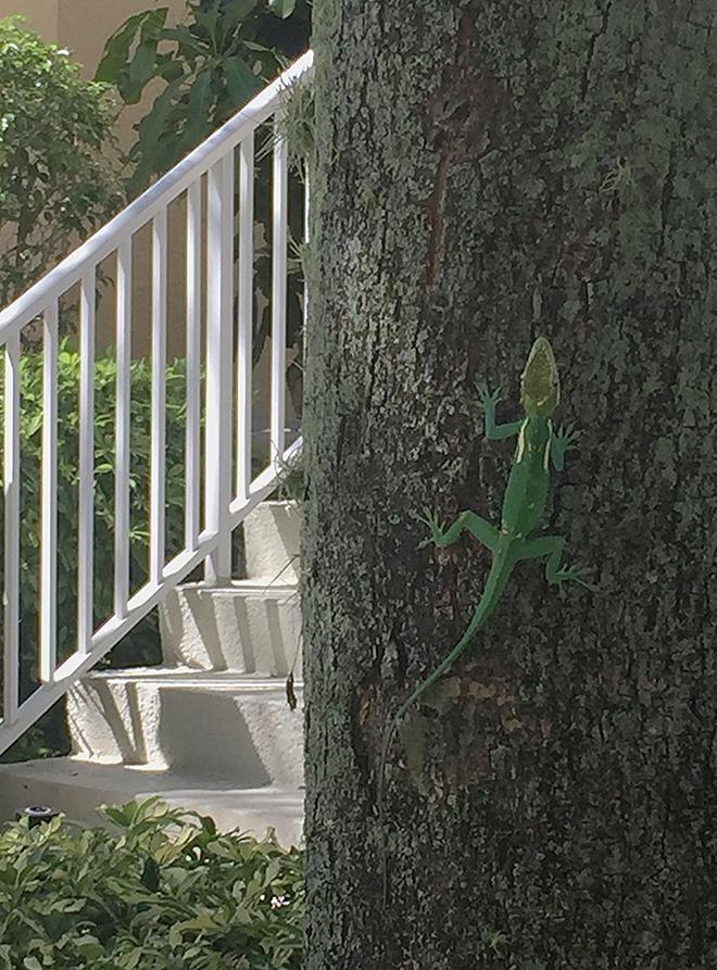 Lizard_5151LR