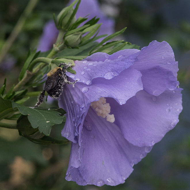 #roseofsharon, #bee, #bumblebee, #pollinate, #purple