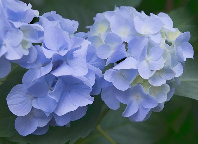 #blue, #hydrangea, #summer, #july, #blueandgreen, #blossoms, #flowers, #nature #macro, #macrophotography