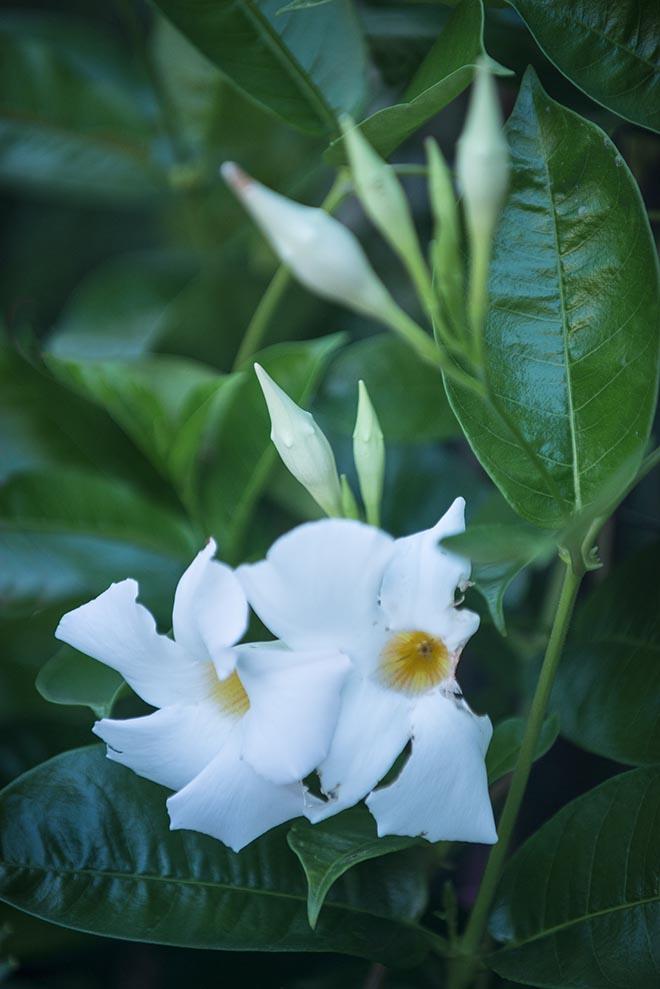 #flowers, #garden, #summer, #white