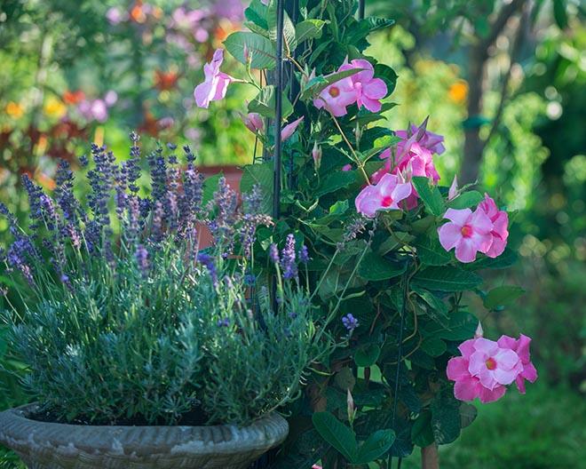 #garden, #lavender, #summer, #august, #pink, #bokeh