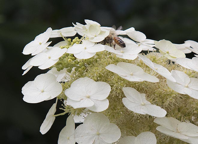 #white, #bee, #pollinate, #oakleafhydrangea, #hydrangea, #macro, #macrophotography