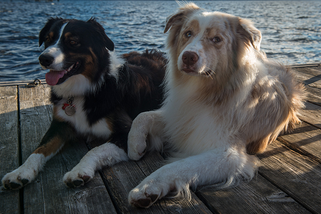 #canada, #muskoka, #muskokalake, #aussie, #australianshepherd, #dock, #dogs, #summer