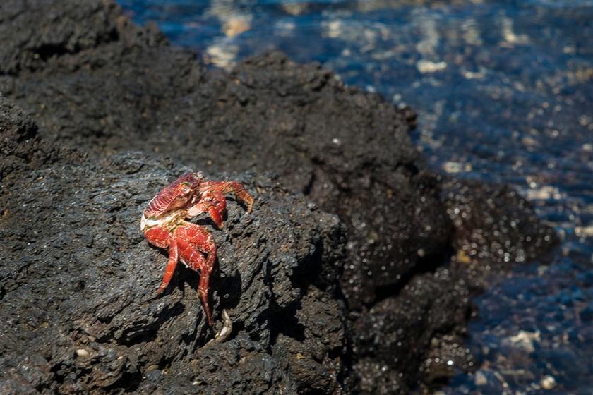 #crab, #hawaii, #wildlife, #nature, #lava, #orangeandblue
