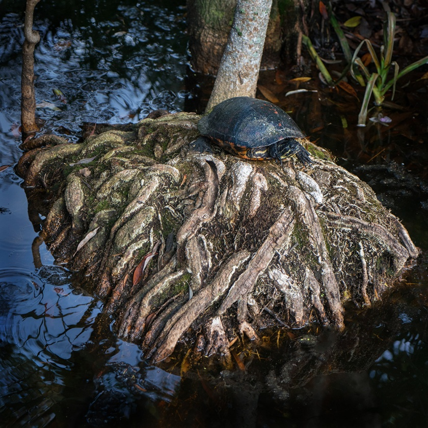 #turtle, #alligators, #florida, #swamp, #wildlife, #nature