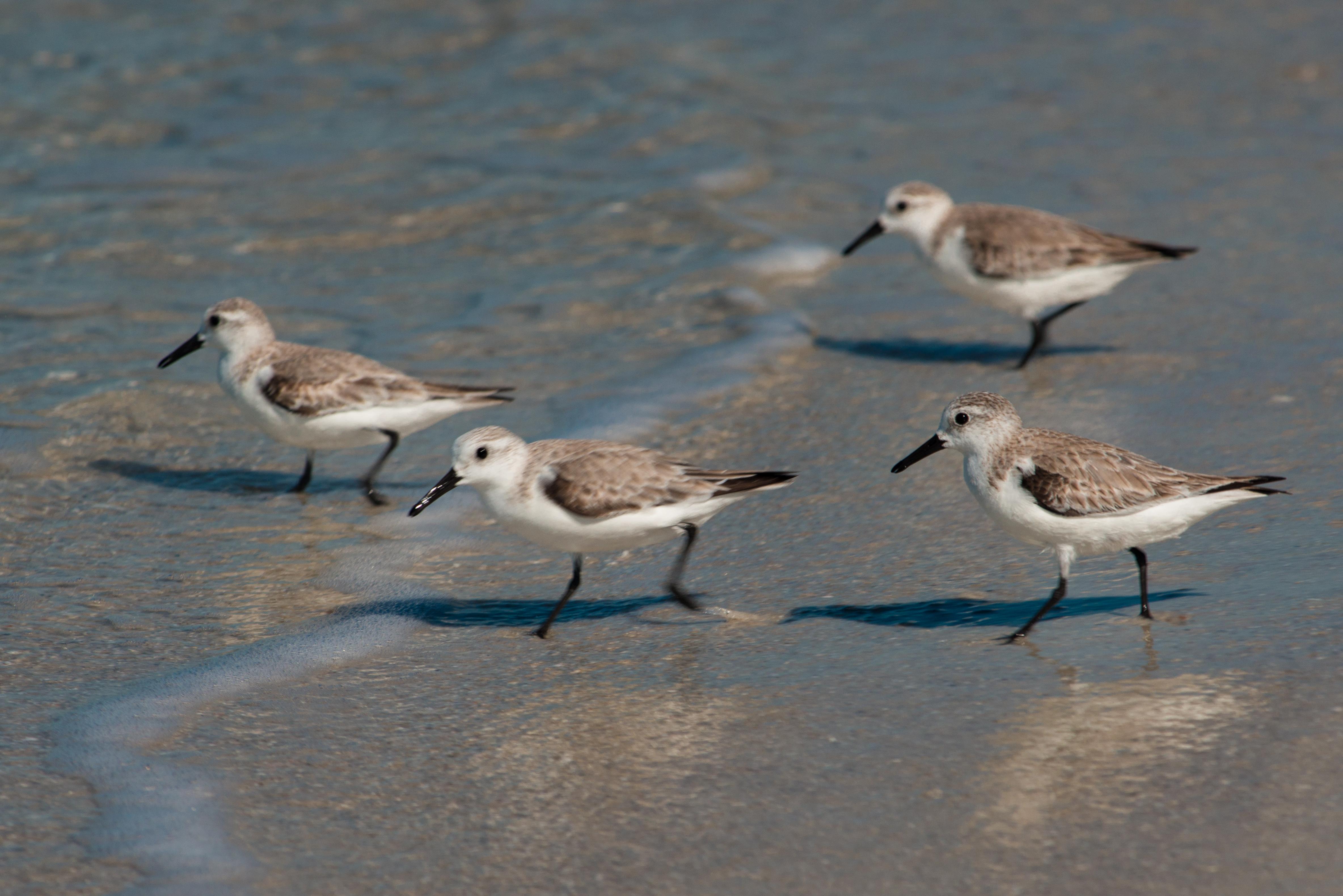 #sandpiper, #birds, #florida, #naples, #sunnyday, #water, #wildlife, #nature