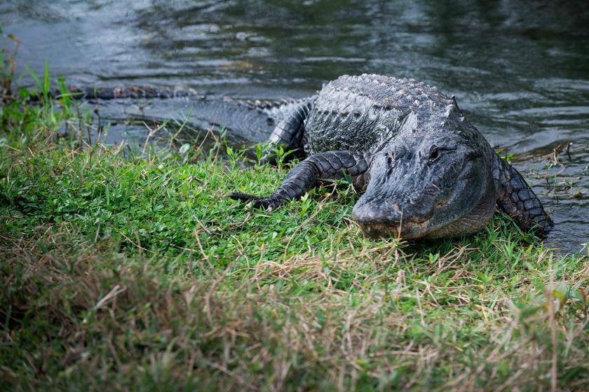 #alligator, #lookout, #everglades, #florida, #gatoronthemove, #sharkvalley, #nikond800, #nikon, #wildlife, #nature