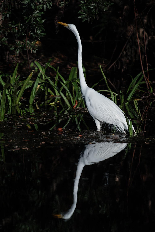 #egret, #nature, #florida, #wadingbird, #tropics, #wildlife, #naples, #relfection