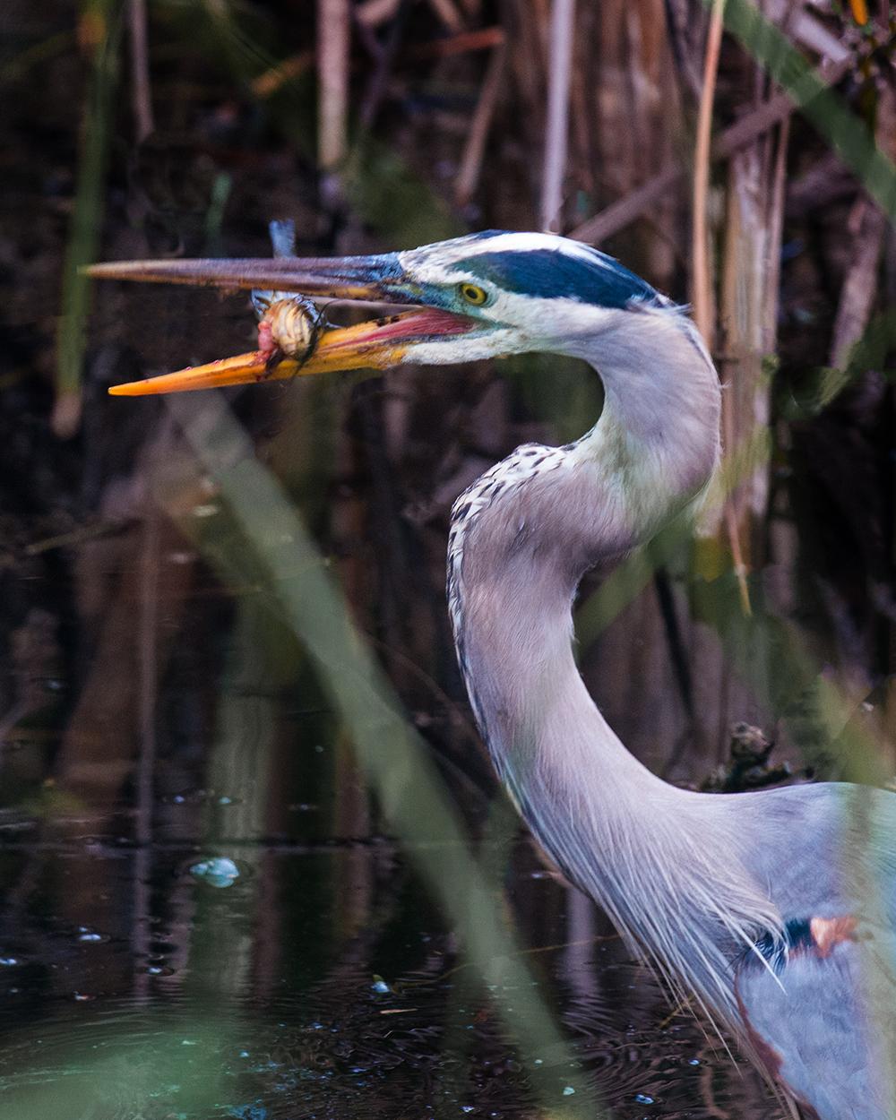 #blueheron, #greatblueheron, #heron, #everglades, #florida, #willdlife, #nature, #nationalpark