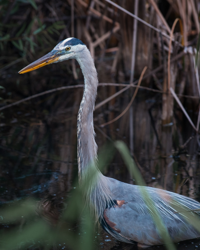 #heron, #greatblueheron, #blueheron, #florida, #everglades, #nationalpark, #wildlife, #nature
