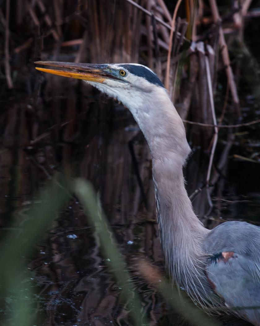 #greatblueheron, #blueheron, #heron, #prey, #wildlife, #nature, #everglades, #sharkvalley, #nationalpark