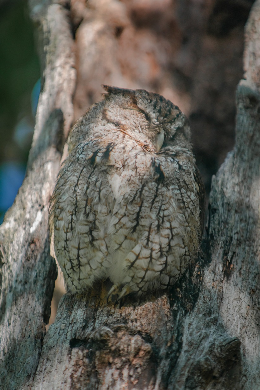 #owl, #naples, #florida, #pelicanbay, #sleepy, #naptime, #wildlife, #nature