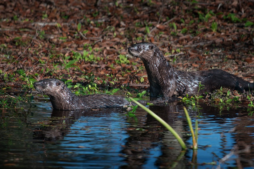 #otter, #florida, #naples, #wildlife, #nature, #habitat, #fun