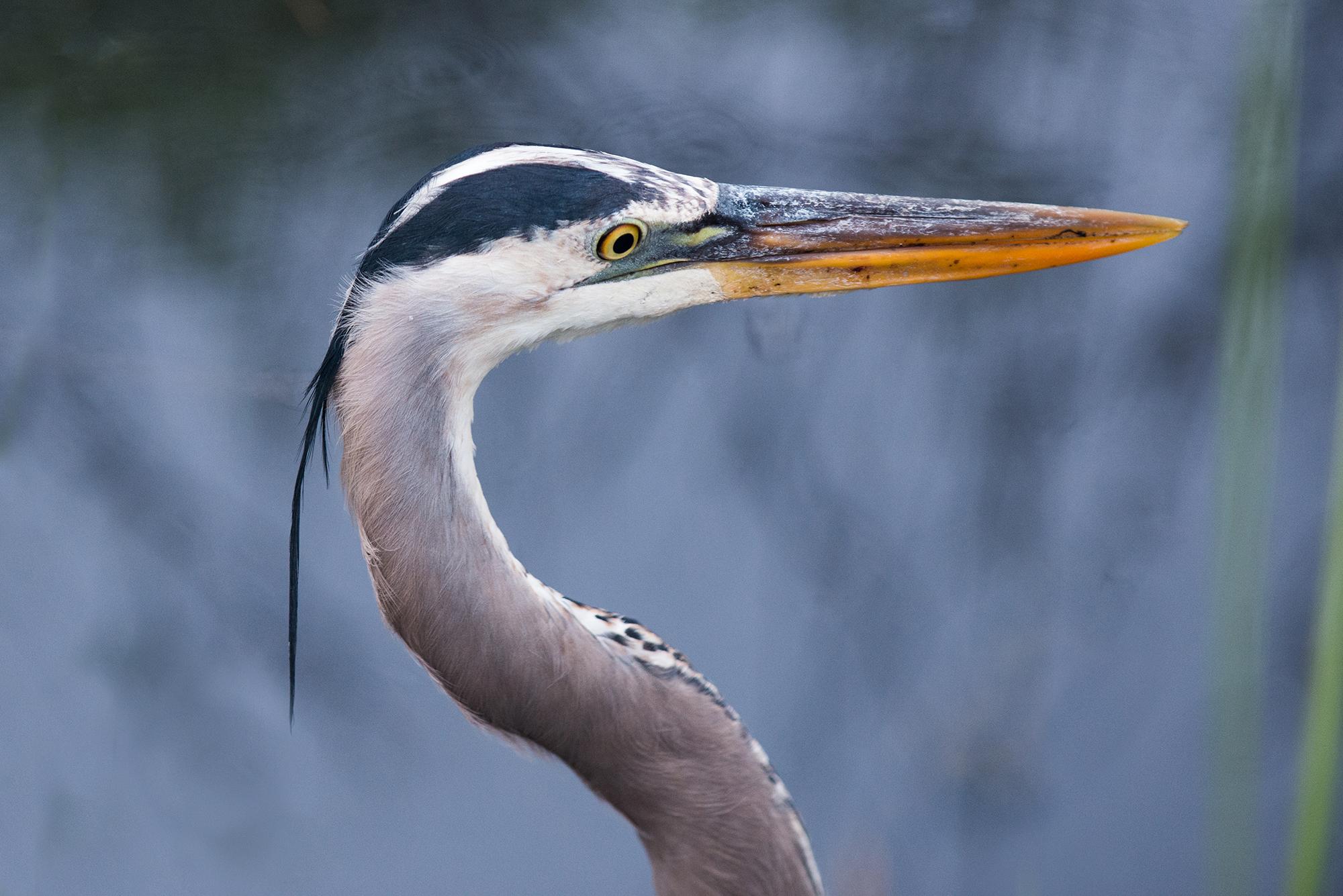 #blueheron, #greatblueheron, #heron, #bird, #profile, #wildlife, #nature, #florida, #everglades. #sharakvalley, #nikon, #nikond800, #eye