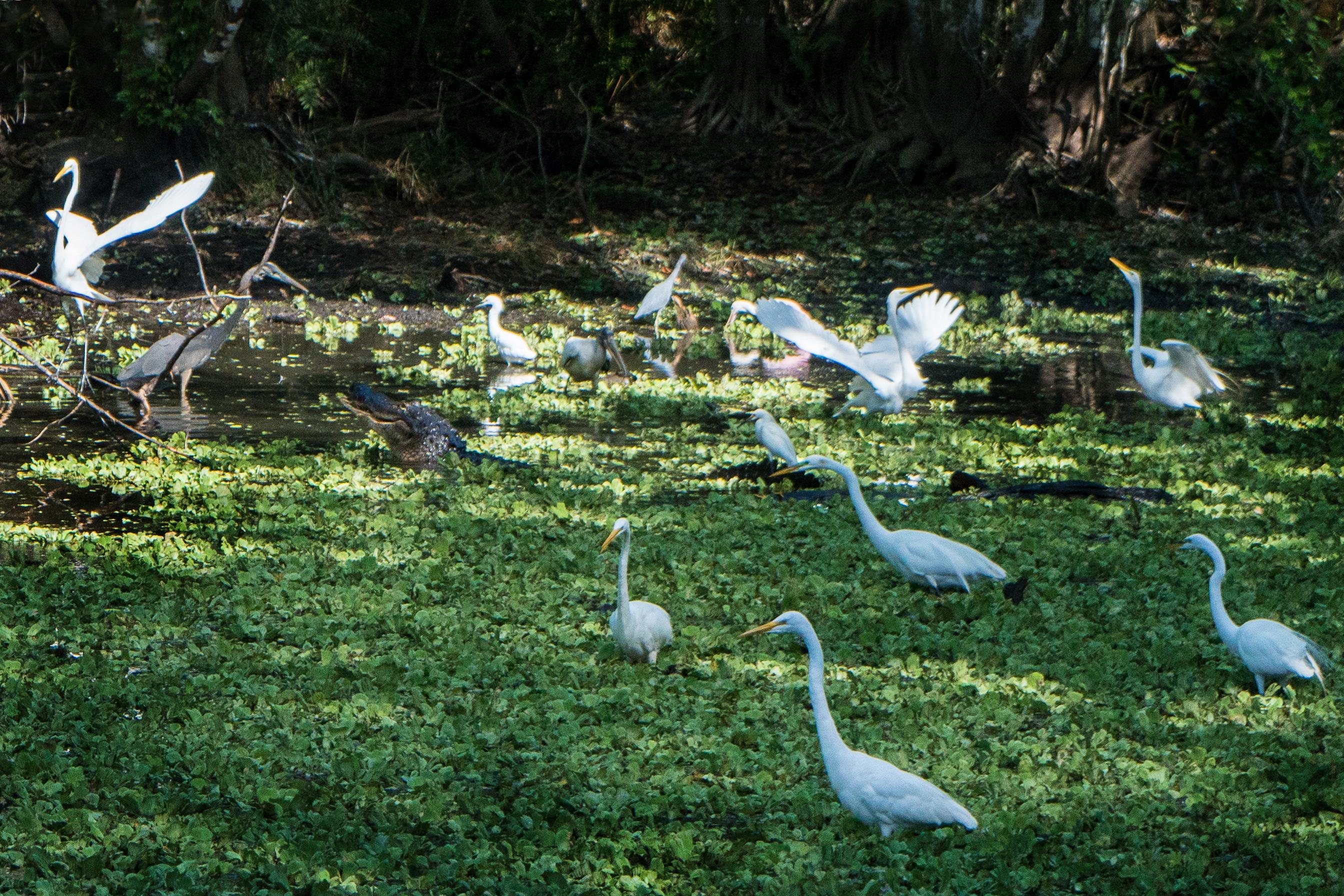 #blueheron, #alligator, #corkscrew, #egret, #lettucelakes, #florida, #drought, #wildlife, #nature