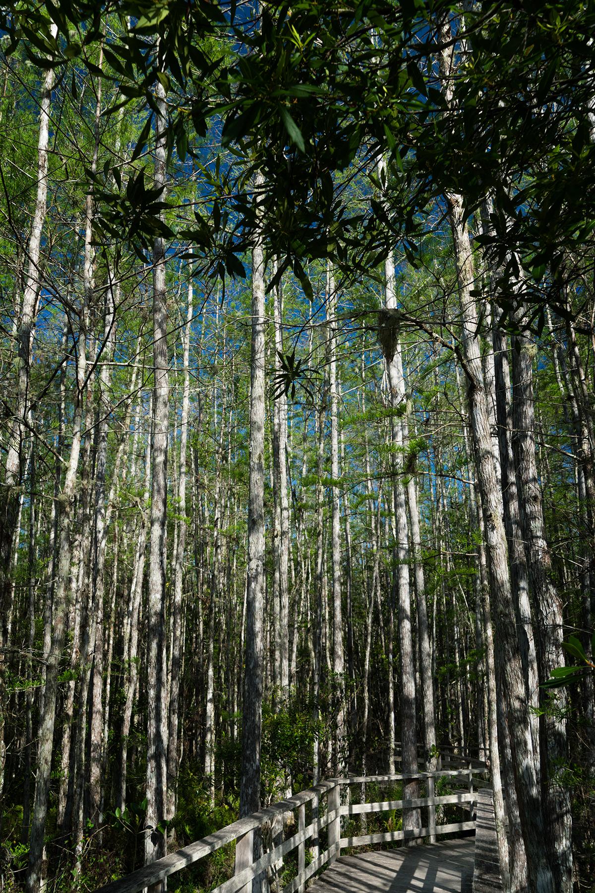 #corkscrew, #swamp, #santuary, #naples, #florida, #nature, #birdwatching, #vertical, #sony