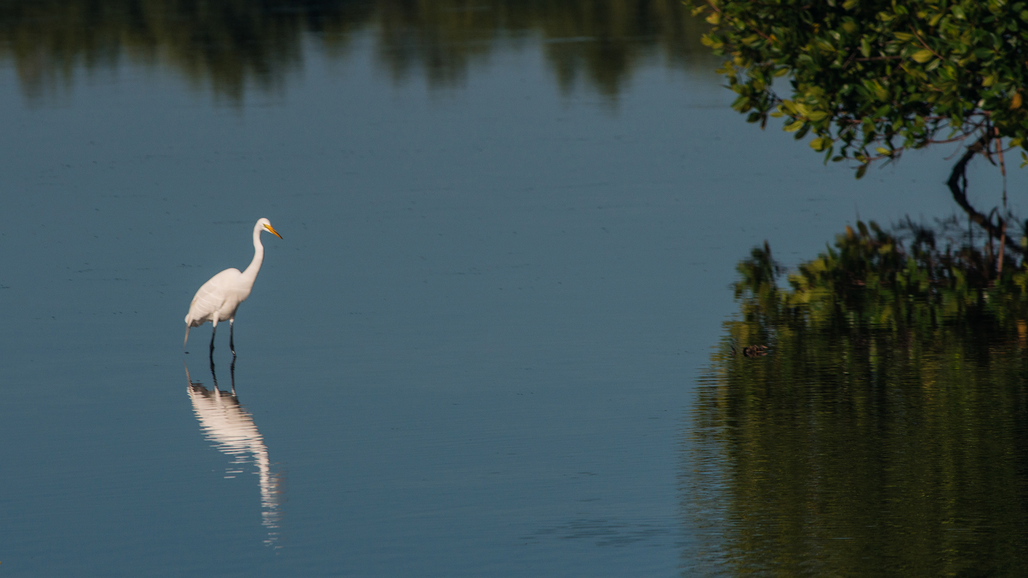 #greategret, #egret, #sanibel, #dingdarling, #florida, #wildlife, #nature, #bird, #reflection, #blueandgreen