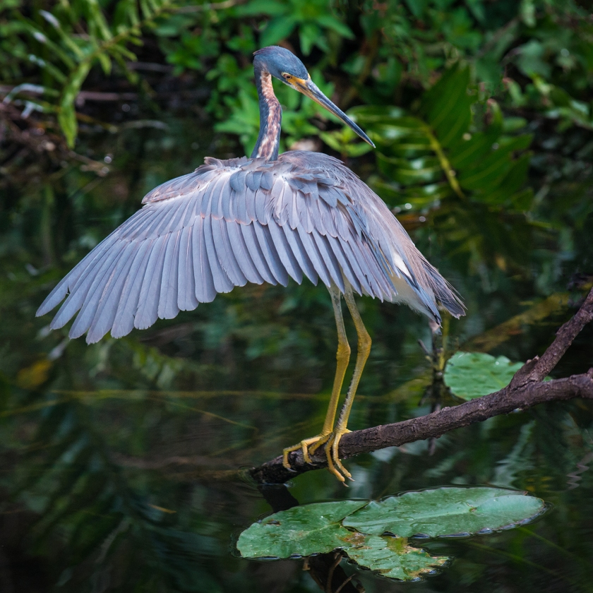 #blueheron, #heron, #littleblueheron, #everglades, #bird, #wildlife, #nature, #beautiful. #blue, #dress, #feathers