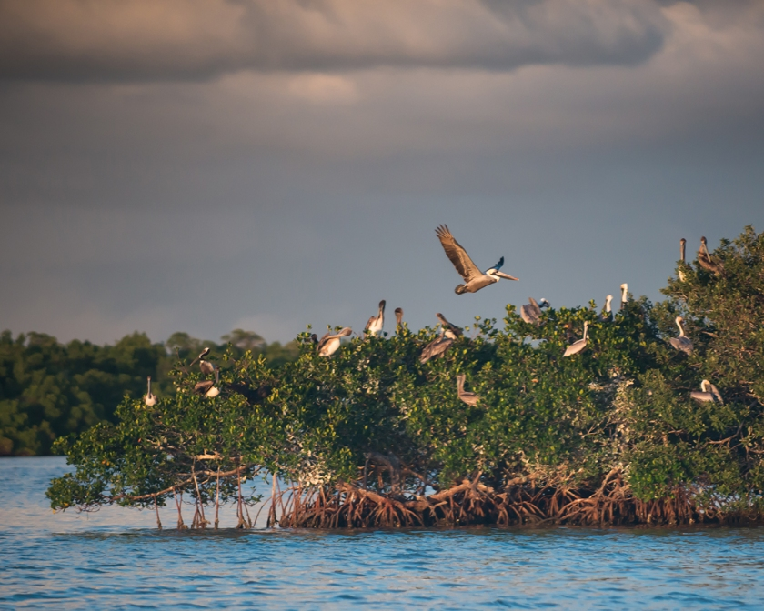 #pelicans, #landing, #rookery, #sunset, #naples, #florida, #birds, #dusk, #nature, #wildlife