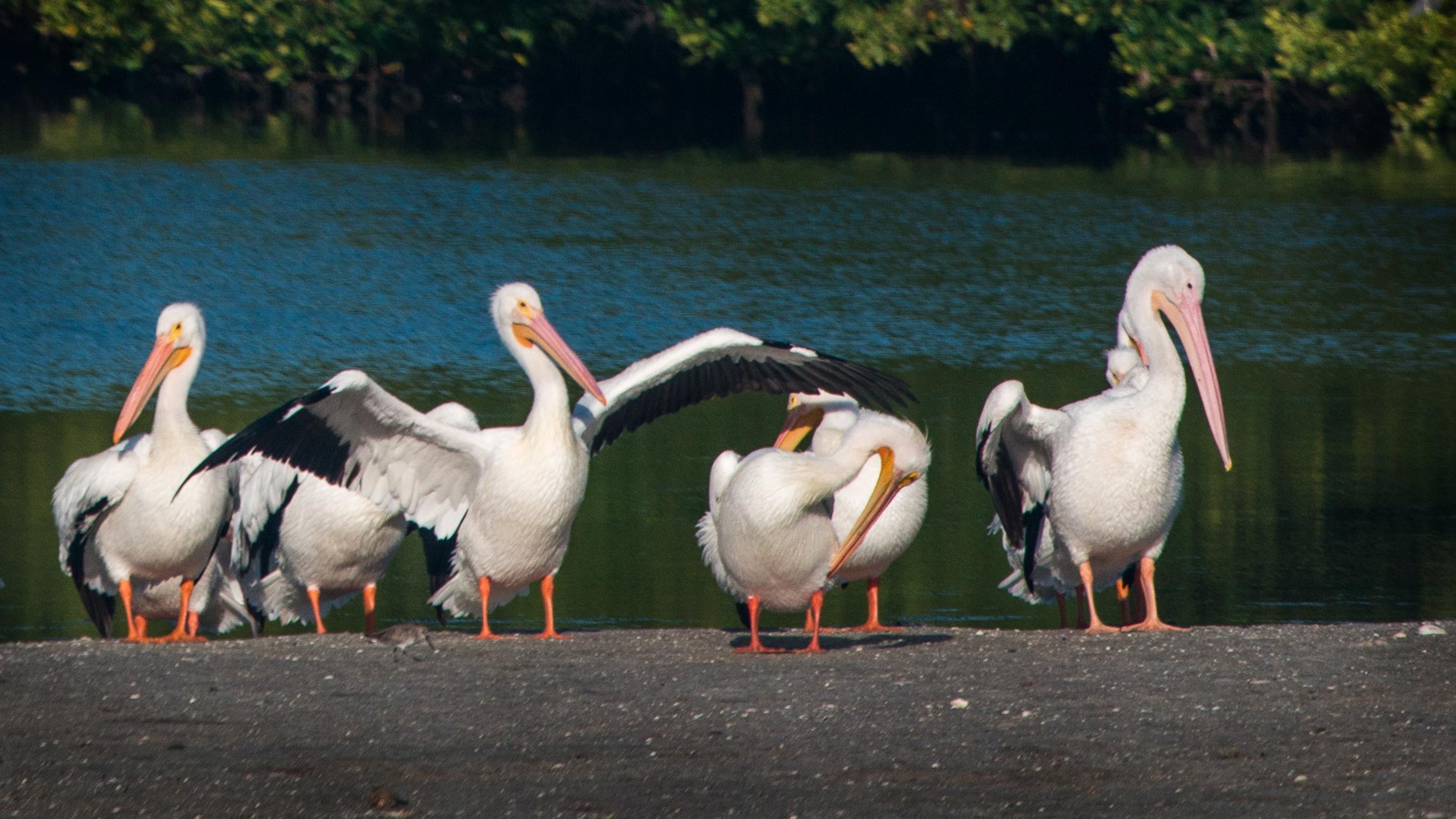 #whitepelican, #pelicans, #florida, #wildlife, #snowbird, #morning, #sun, #dingdarling, #wildlife, #refuge, #birds, #florida, #sanibel