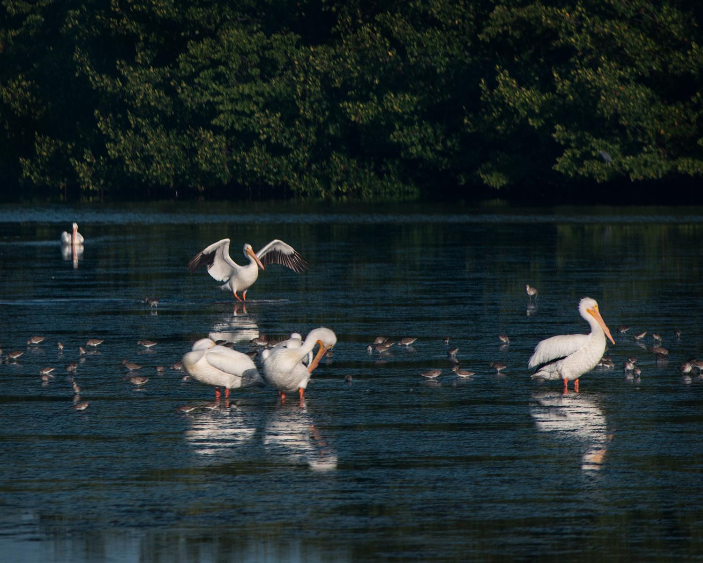 #whitepelican, #Americanwhitepelican, #sanibel, #florida, #dingdarling, #wildlife #refuge, #wings