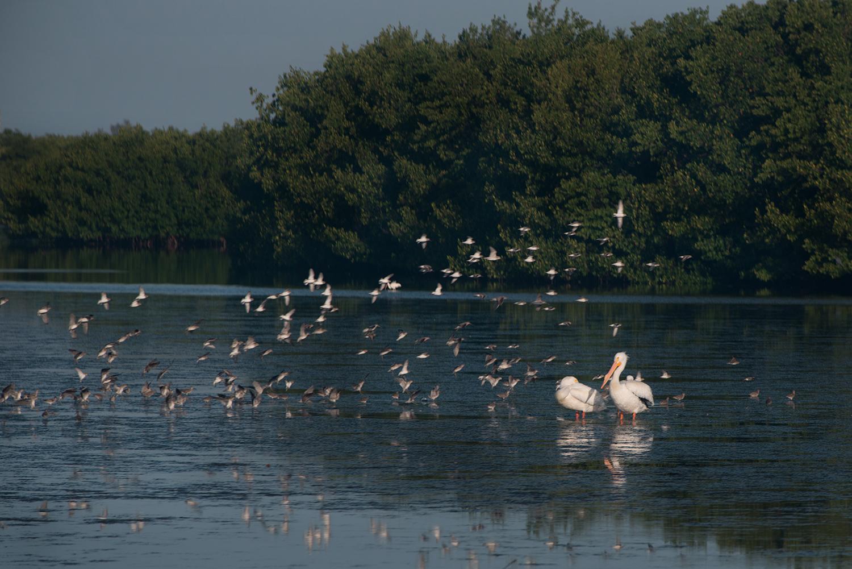 #pelican, #whitepelican, #Americanwhitepelican, #sandpiper, #sanibel, #dingdarling, #wildlife, #refuge