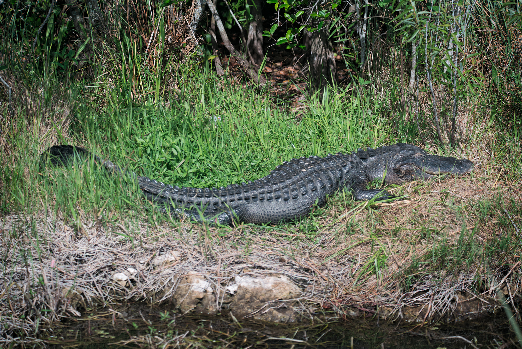 #alligator, #sleeping, #wildlife, #nature, #everglades, #sharkvalley