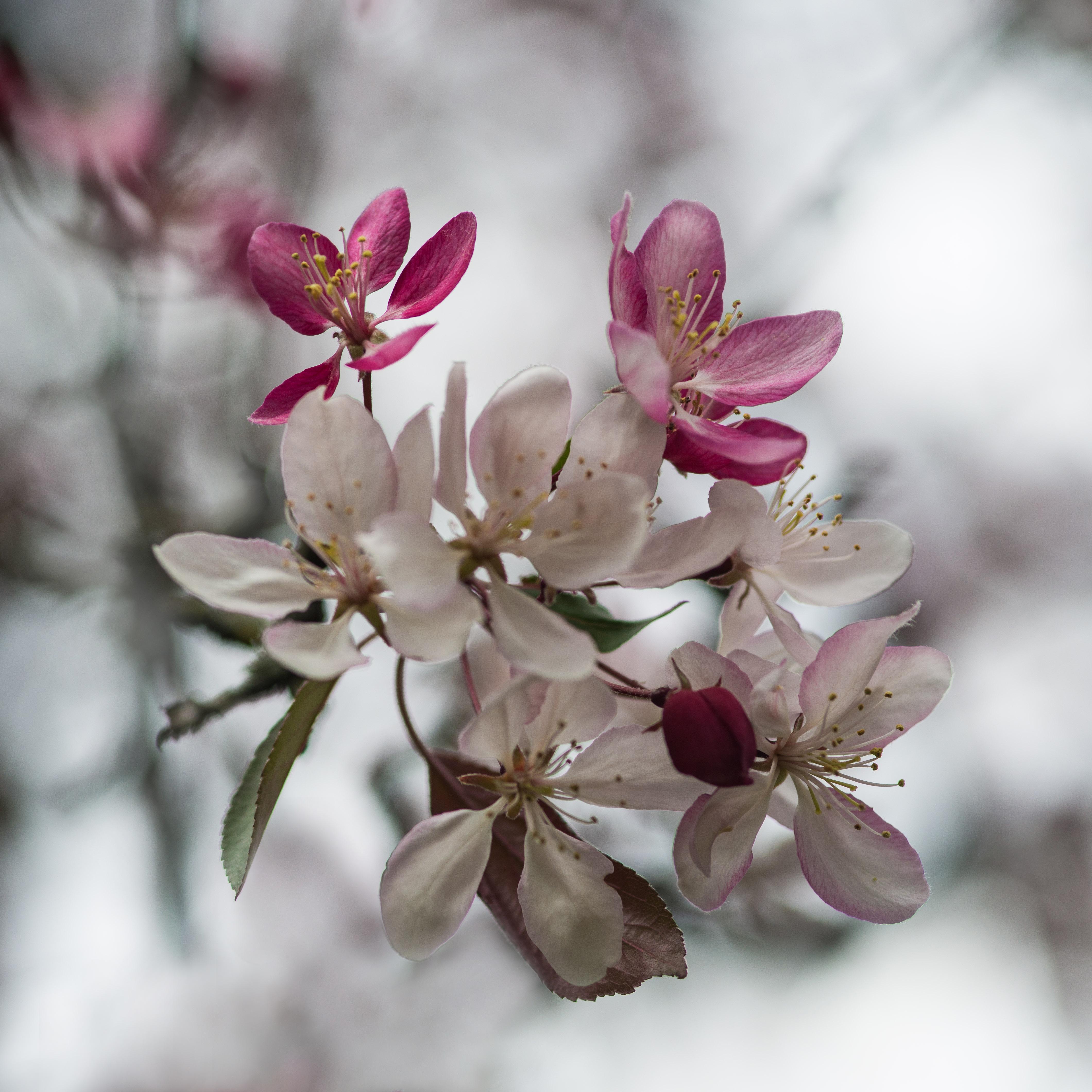 #cherryblossoms, #pennsylvania, #spring, #easter, #selectivefocus, #nikon